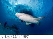 Купить «Lemon shark (Negaprion brevirostris) Northern Bahamas, Caribbean Sea, Atlantic Ocean», фото № 25144897, снято 26 марта 2019 г. (c) Nature Picture Library / Фотобанк Лори