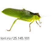 Купить «Katydid (Tettigoniidae) Gamboa, Panama Meetyourneighbours.net project», фото № 25145101, снято 19 февраля 2019 г. (c) Nature Picture Library / Фотобанк Лори