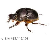 Купить «Dung beetle (Scarabaeidae) Gamboa, Panama Meetyourneighbours.net project», фото № 25145109, снято 19 февраля 2019 г. (c) Nature Picture Library / Фотобанк Лори