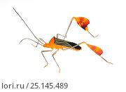 Купить «Flag-footed bug (Anisocelis flavolineata) Gamboa, Panama Meetyourneighbours.net project», фото № 25145489, снято 19 февраля 2019 г. (c) Nature Picture Library / Фотобанк Лори