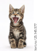 Купить «Tabby kitten, Picasso, 7 weeks, yawning.», фото № 25145577, снято 16 января 2019 г. (c) Nature Picture Library / Фотобанк Лори