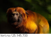 Купить «Golden lion tamarin (Leontopithecus rosalia) captive, occurs in the Atlantic Rainforest of Brazil. Critically endangered.», фото № 25145733, снято 20 января 2020 г. (c) Nature Picture Library / Фотобанк Лори