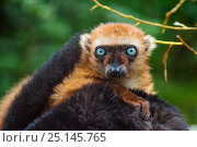 Купить «Blue-eyed / Sclater's black lemur (Eulemur flavifrons) female looking over male's back, captive, endemic to Madagascar., Critically Endangered.», фото № 25145765, снято 20 апреля 2019 г. (c) Nature Picture Library / Фотобанк Лори