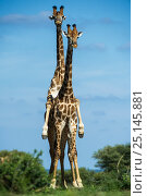 Giraffe (Giraffa camelopardalis) pair mating, Marataba, Marakele National Park, Limpopo Province, South Africa. Стоковое фото, фотограф Pete Oxford / Nature Picture Library / Фотобанк Лори