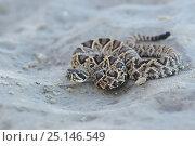 Eastern diamondback rattlesnake (Crotalus adamanteus) juvenile, Glynn County, Georgia. October. Стоковое фото, фотограф Gerrit Vyn / Nature Picture Library / Фотобанк Лори