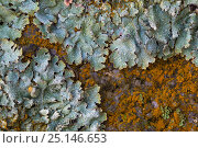 Купить «Lichen (Parmelia saxatilis) interspersed with  orange patches of a Green alga (Trentepohlia sp.) that gets its unusual colouration from the haematochrome...», фото № 25146653, снято 18 августа 2018 г. (c) Nature Picture Library / Фотобанк Лори