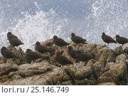 Купить «Black oystercatchers (Haematopus bachmani) flock resting on coastal rocks as a wave crashes. Monterey County, California, USA. October.», фото № 25146749, снято 30 марта 2020 г. (c) Nature Picture Library / Фотобанк Лори