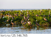 Купить «Brown pelicans (Pelecanus occidentalis) and Great egrets (Ardea alba) roosting on mangroves in a Barataria Bay nesting colony. This colony was heavily...», фото № 25146765, снято 12 июля 2020 г. (c) Nature Picture Library / Фотобанк Лори