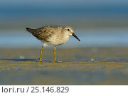 Red knot (Calidris canutus) in basic (winter) plumage foraging on the Altamaha Estuary. Glynn County, Georgia. October. Стоковое фото, фотограф Gerrit Vyn / Nature Picture Library / Фотобанк Лори