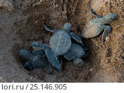 Green turtle (Chelonia mydas) hatchlings emerging from nest,  Bissagos Islands, Guinea Bissau. Endangered species. 3rd Place in the SOS Especes Menacees... Стоковое фото, фотограф Pedro Narra / Nature Picture Library / Фотобанк Лори