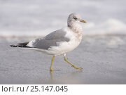 Купить «Adult Mew gull (Larus canus) in non breeding plumage. Monterey County, California. November.», фото № 25147045, снято 23 сентября 2018 г. (c) Nature Picture Library / Фотобанк Лори