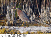 Купить «Green-backed heron (Butorides striatus) perched on drift wood in lagoon, Fort Myers Beach, Gulf Coast, Florida, USA, March.», фото № 25147981, снято 22 октября 2018 г. (c) Nature Picture Library / Фотобанк Лори
