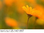 Купить «Parachute daisies (Ursinia anthemoides) Little Karoo, Western Cape, South Africa.», фото № 25147997, снято 10 июля 2020 г. (c) Nature Picture Library / Фотобанк Лори
