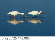 Купить «White ibis (Eudocimus albus) two foraging off the coast, Fort Myers beach, Gulf Coast, Florida, USA, March.», фото № 25148085, снято 9 декабря 2019 г. (c) Nature Picture Library / Фотобанк Лори