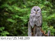 Купить «Ural owl (Strix uralensis) perched on tree stump in forest, Bavarian Forest National Park, Germany, May. Captive.», фото № 25148289, снято 21 ноября 2018 г. (c) Nature Picture Library / Фотобанк Лори