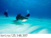 Купить «Scuba diver and Tiger shark (Galeocerdo cuvier) Northern Bahamas, Caribbean Sea, Atlantic Ocean. March 2009.», фото № 25148397, снято 26 марта 2019 г. (c) Nature Picture Library / Фотобанк Лори