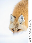 Купить «Red fox (Vulpes vulpes)  in snow, Wyoming, USA, February.», фото № 25148677, снято 15 августа 2018 г. (c) Nature Picture Library / Фотобанк Лори