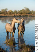 Купить «White horses of the Camargue in the marshes of the Camargue, France, April.», фото № 25148681, снято 16 августа 2018 г. (c) Nature Picture Library / Фотобанк Лори