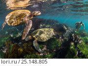 Купить «Three Galapagos green turtles (Chelonia mydas agassizii) feeding on seaweed growing on lava rocks in sunny shallow water. Floreana Island, Galapagos Islands, Ecuador. East Pacific Ocean.», фото № 25148805, снято 31 мая 2020 г. (c) Nature Picture Library / Фотобанк Лори
