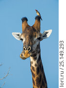Купить «Giraffe (Giraffa camelopardalis) with Red billed oxpecker (Buphagus erythrorhynchus) on head, Marakele Private Reserve, Waterberg Biosphere Reserve, Limpopo Province, South Africa.», фото № 25149293, снято 25 марта 2019 г. (c) Nature Picture Library / Фотобанк Лори