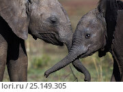 Купить «Elephant (Loxodonta africana) calves playing together, Maasai Mara National Reserve, Kenya. December», фото № 25149305, снято 7 июля 2020 г. (c) Nature Picture Library / Фотобанк Лори