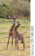 Купить «Two young Masai giraffes (Giraffa camelopardalis tippelskirchi) Arusha National Park, Tanzania, East Africa, September.», фото № 25149341, снято 7 июля 2020 г. (c) Nature Picture Library / Фотобанк Лори