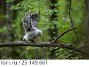 Купить «Ural owl (Strix uralensis) young stretching its wings outside of the nest, Southern Estonia.», фото № 25149661, снято 20 августа 2018 г. (c) Nature Picture Library / Фотобанк Лори