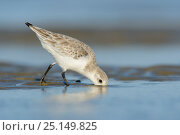 Sanderling (Calidris alba) in winter plumage foraging on the Altamaha Estuary. Glynn County, Georgia, USA. October. Стоковое фото, фотограф Gerrit Vyn / Nature Picture Library / Фотобанк Лори