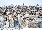 Купить «Nenet herdsman with Reindeer (Rangifer tarandus) during summer migration, Yamal Peninsula, Russia. May.», фото № 25149889, снято 17 октября 2018 г. (c) Nature Picture Library / Фотобанк Лори
