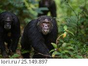 Купить «Eastern chimpanzee (Pan troglodytes schweinfurtheii) male 'Faustino' aged 22 years displaying. Gombe National Park, Tanzania.», фото № 25149897, снято 20 января 2020 г. (c) Nature Picture Library / Фотобанк Лори