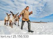 Купить «Nenet herdsman with Reindeer (Rangifer tarandus) during summer migration, Yamal Peninsula, Russia. May.», фото № 25150533, снято 24 августа 2019 г. (c) Nature Picture Library / Фотобанк Лори
