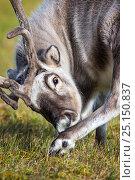 Купить «Svalbard reindeer (Rangifer tarandus platyrhynchus) grooming foot, Svalbard, Norway, August.», фото № 25150837, снято 24 августа 2019 г. (c) Nature Picture Library / Фотобанк Лори