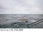 Купить «Hauling in dragger net full of Haddock (Melanogrammus aeglefinus) and Dogfish (Squalidae). Georges Bank, Masschusetts, New England, USA, May 2015.», фото № 25150889, снято 27 марта 2019 г. (c) Nature Picture Library / Фотобанк Лори