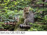 Купить «European wildcat (Felis silvestris silvestris) in pine forest, Bavarian Forest National Park, Germany, May. Captive.», фото № 25151421, снято 22 сентября 2018 г. (c) Nature Picture Library / Фотобанк Лори