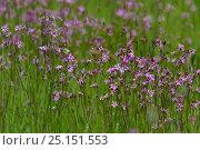 Купить «Ragged robin (Silene flos-cuculi) Marais Audubon, Coueron, Loire- Atlantique, France, May.», фото № 25151553, снято 23 сентября 2018 г. (c) Nature Picture Library / Фотобанк Лори