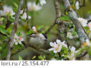 Купить «Marsh tit (Poecile palustris) perched in apple blossom, Musteika Village, Lithuania, May.», фото № 25154477, снято 24 января 2019 г. (c) Nature Picture Library / Фотобанк Лори