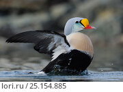 Купить «King eider duck (Somateria spectabilis) male flapping wings, Batsfjord village harbour, Varanger Peninsula, Norway. March.», фото № 25154885, снято 19 января 2019 г. (c) Nature Picture Library / Фотобанк Лори