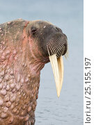 Купить «Walrus (Odobenus rosmarus) hauled out in shallow water, Spitsbergen, Svalbard Archipelago, Norway, Arctic Ocean. July.», фото № 25155197, снято 24 апреля 2019 г. (c) Nature Picture Library / Фотобанк Лори