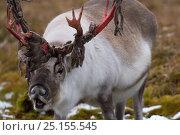 Купить «Reindeer (Rangifer tarandus) with velvet coming off antlers, Cairngorms, Scotland, UK. September 2014.», фото № 25155545, снято 16 января 2019 г. (c) Nature Picture Library / Фотобанк Лори