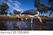 Купить «Marabou storks (Leptoptilos crumeniferus) feeding on catfish at waterhole, wide angle perspective, Maasai Mara National Reserve, Kenya.», фото № 25155609, снято 7 августа 2020 г. (c) Nature Picture Library / Фотобанк Лори