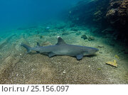 Купить «White-tipped reef sShark (Triaenodon obesus) on sea floor, Galapagos.», фото № 25156097, снято 4 августа 2020 г. (c) Nature Picture Library / Фотобанк Лори