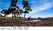 Купить «Marabou storks (Leptoptilos crumeniferus) feeding on catfish in waterhole, wide angle view. Maasai Mara National Reserve, Kenya.», фото № 25156109, снято 7 августа 2020 г. (c) Nature Picture Library / Фотобанк Лори