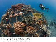 Купить «Diver looking at artificial reef in Permuteran Bay, Bali Island, Indonesia. The man-made metal Bio Rock reef structure has a low-voltage electrical current...», фото № 25156349, снято 25 сентября 2018 г. (c) Nature Picture Library / Фотобанк Лори