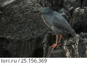Купить «Lava heron (Butorides sundevalli) perched on volcanic rock. Galapagos. Endemic.», фото № 25156369, снято 17 июня 2019 г. (c) Nature Picture Library / Фотобанк Лори