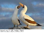Nazca booby (Sula granti) pair in courtship display, Punta Suarez, Espaniola, Galapagos. Стоковое фото, фотограф Andy Rouse / Nature Picture Library / Фотобанк Лори