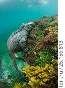 Marine iguana (Amblyrhynchus cristatus) underwater. Fernandina Island. Galapagos, Endemic Species. Стоковое фото, фотограф Pete Oxford / Nature Picture Library / Фотобанк Лори