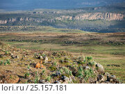 Купить «Ethiopian wolves (Canis simensis) mother and pups from the Tarura pack, Web Valley, Ethiopia.», фото № 25157181, снято 23 апреля 2019 г. (c) Nature Picture Library / Фотобанк Лори