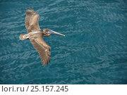 Купить «Galapagos brown pelican (Pelecanus occidentalis urinator) juvenile flying over sea, Galapagos.», фото № 25157245, снято 26 июня 2019 г. (c) Nature Picture Library / Фотобанк Лори