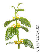 Купить «Variegated yellow archangel (Lamiastrum galeobdolon subsp. argentatum) flower on white background.», фото № 25157321, снято 21 августа 2018 г. (c) Nature Picture Library / Фотобанк Лори