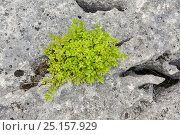 Купить «Stunted rowan (Sorbus aucuparia) growing in grike of limestone pavement, Gait Barrows, Lancashire, England, UK, May.», фото № 25157929, снято 23 марта 2018 г. (c) Nature Picture Library / Фотобанк Лори